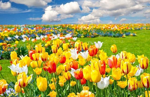 y-nghia-hoa-tulip-mau-vang
