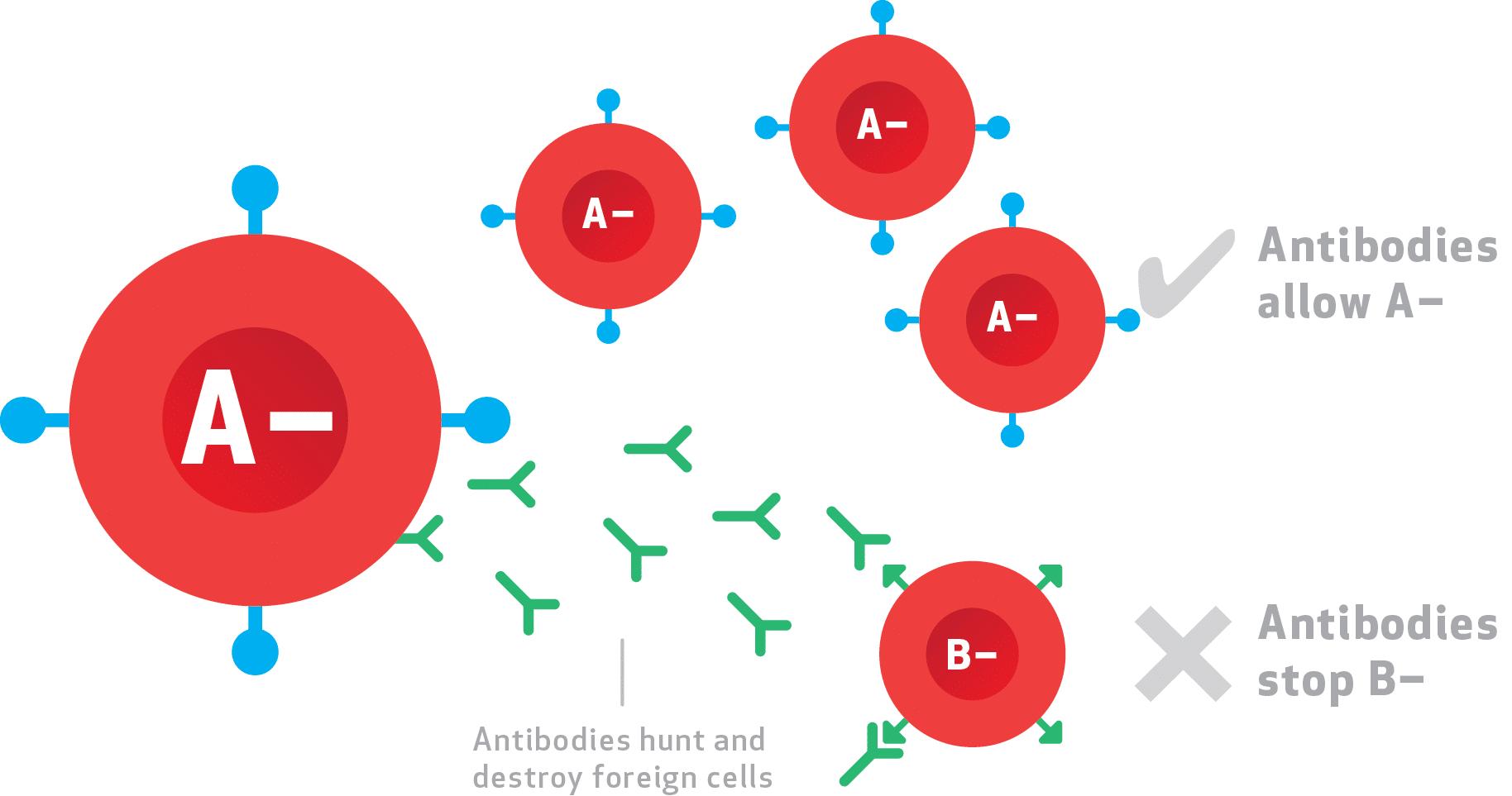 Nhóm máu A Rh+ và A Rh-