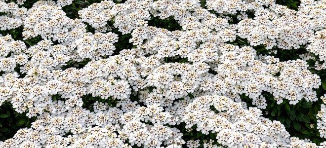 lớp phủ hoa trắng
