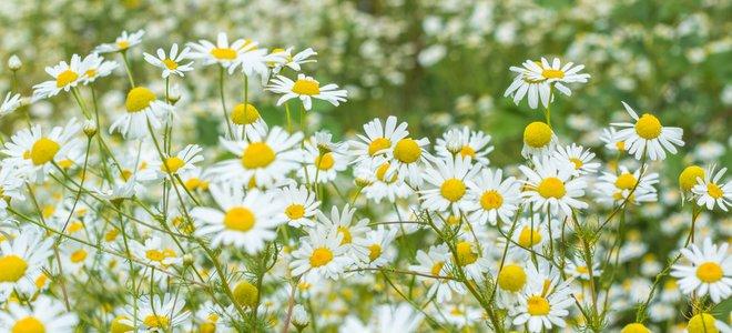 cánh đồng đầy hoa cúc trắng vàng tươi
