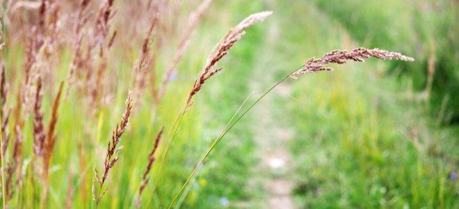 cỏ đỏ cao trước lối mòn