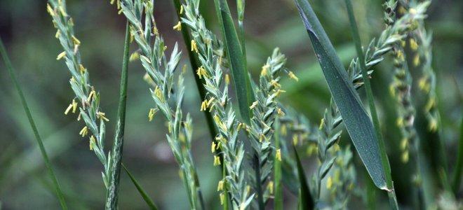 cỏ lúa mạch đen lâu năm màu xanh lam