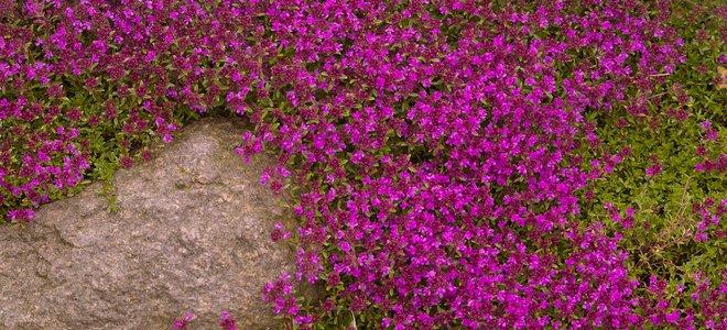 leo lớp phủ cỏ xạ hương với hoa màu tím