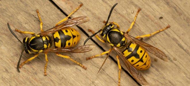 hai con ong bắp cày áo khoác vàng