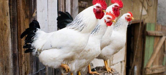 gà trắng và đỏ trong chuồng