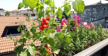 cà chua trồng trong thùng chứa ban công ở thành phố