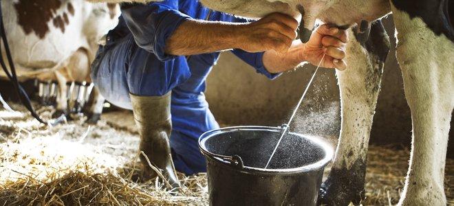 tay vắt sữa bò trong chuồng