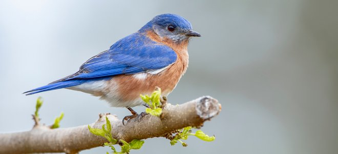 bluebird trên cành lá chớm nở