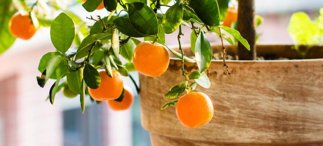 cây cam nhỏ trong thùng màu nâu