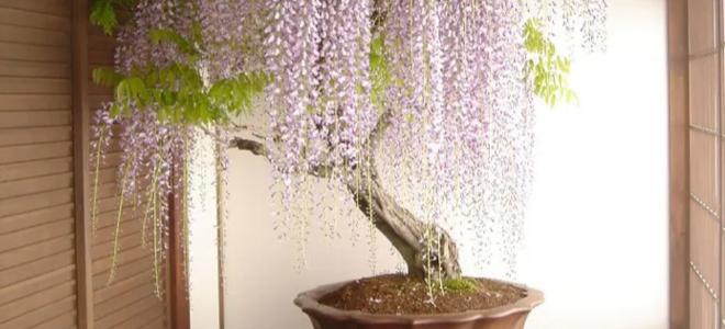 Cây bonsai hoa tử đằng khổng lồ