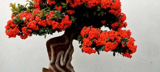 Một cây bonsai lai tạo với những bông hoa màu đỏ tuyệt đẹp
