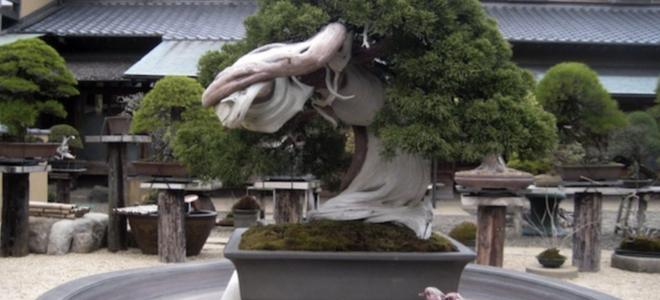 Một trong những cây bonsai lâu đời nhất trên thế giới