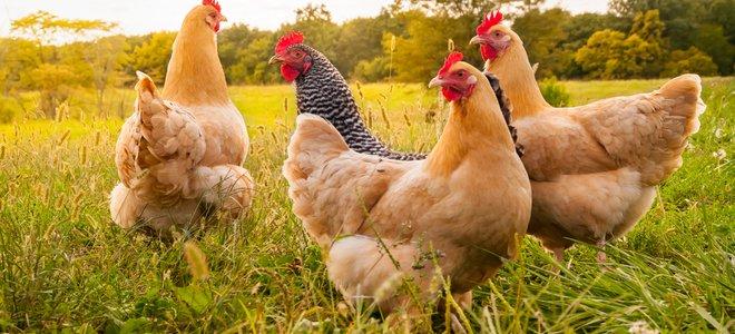 bốn con gà trống trên cánh đồng đầy nắng trông anh hùng