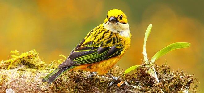 chim vàng tươi trên cành rêu