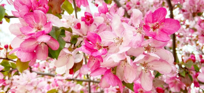 cây táo cua màu hồng rực rỡ