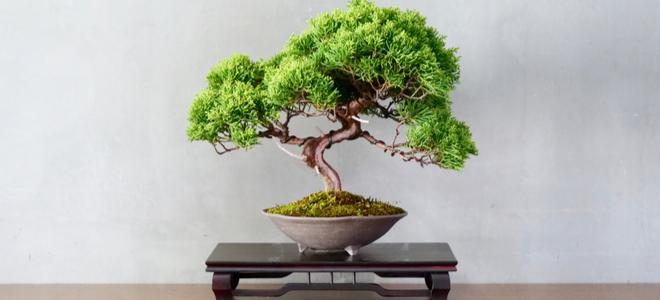 Cây bonsai nhỏ đẹp dựa trên bức tường xám