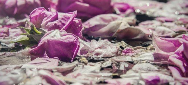 cánh hoa hồng màu tím nhạt trong nước