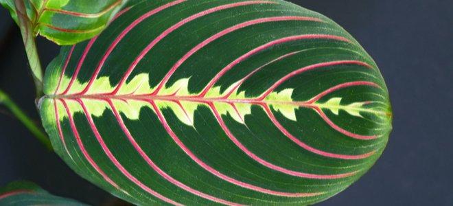 lá cây lớn màu xanh lá cây với các đường màu đỏ