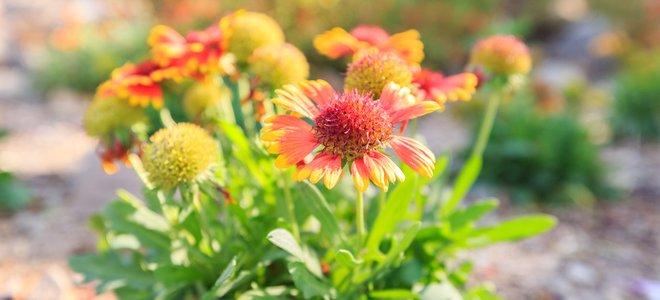 hoa vàng xinh đẹp có nguồn gốc từ khu vực ấm áp