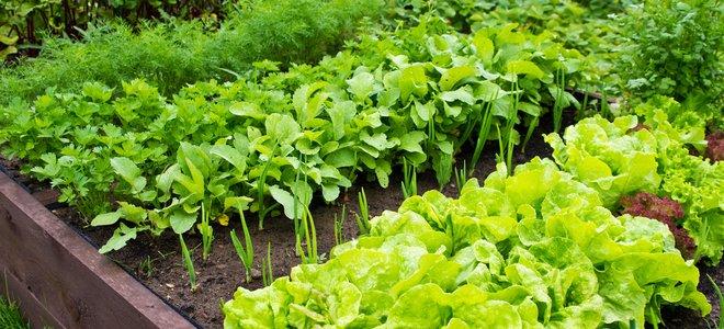vườn bếp với rau diếp và các loại rau khác