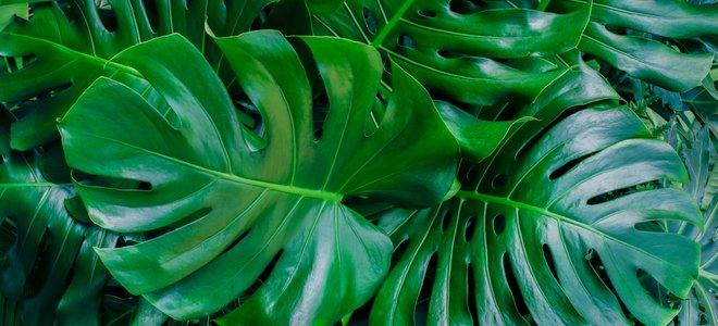 cây xanh đậm có lá lớn