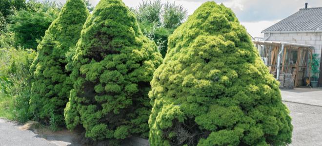 cây thông xanh nhỏ cung cấp sự riêng tư cho khu vực bên ngoài