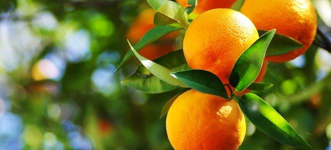 cam mọc trên cây