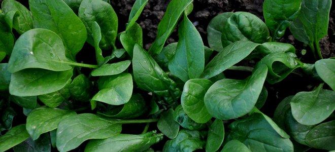 rau bina mọc trong vườn