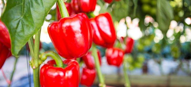 ớt đỏ phát triển tốt